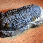 Aus meiner Sammlung ein sehr altes Stück: Ein Trilobit