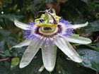 Aus Passiflora wird Nassiflora