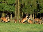 Auseinandersetzung ohne Geweih bei den Hirschen