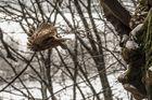 Ausfliegender Waldkauz (3)