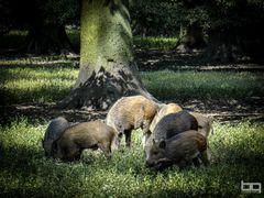 Ausflug einer Wildschweinrotte