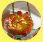 Ausgeblüte Tulpe