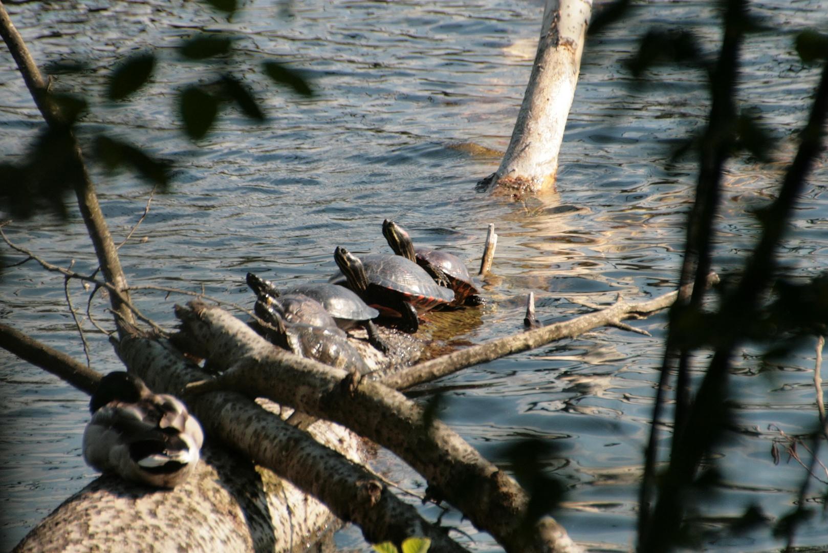 ausgesetzte Wasserschildkröten