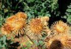 ausgetroknete Blume
