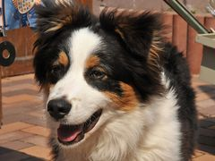 Austalian shepherd 5 Monate :-)
