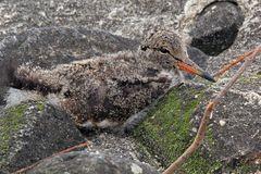 Austernfischerjunges