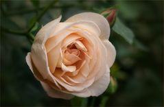 Austin Rose - Mein Gartenrosenjahr ist eröffnet....