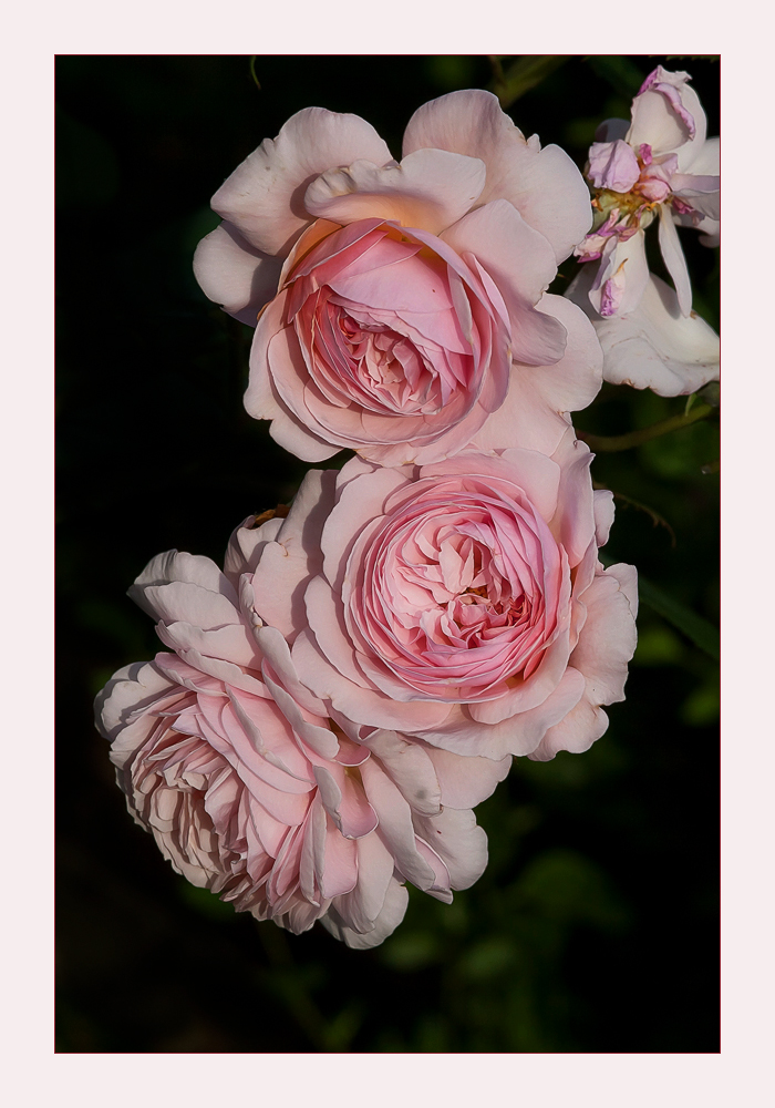 Austin-roses from my garden for.....