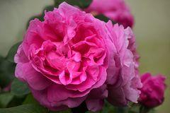 Austin's Mary Rose....