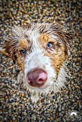 Australian Shepherd - Dogstyle