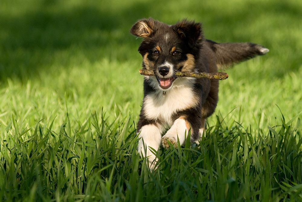 "Australian Shepherd ""Leni"""
