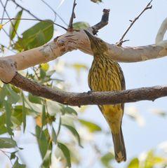 australien Honeyeater