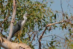 australien Pied Heron