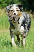 Australien Shepherd mit Plüschtier
