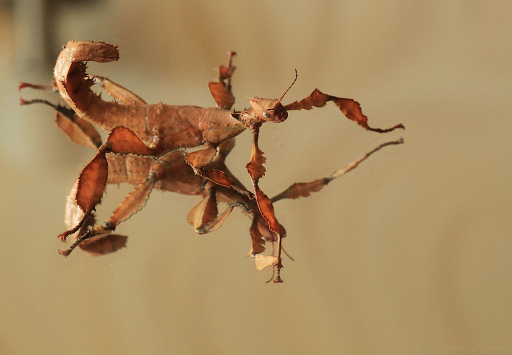 Australische Gespenstschrecke