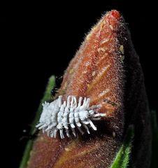 Australische Marienkäfer (Cryptolaemus montrouzieri)