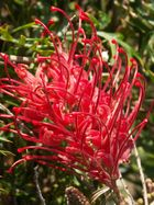 """australische Schönheit """"rote Grevillia"""""""