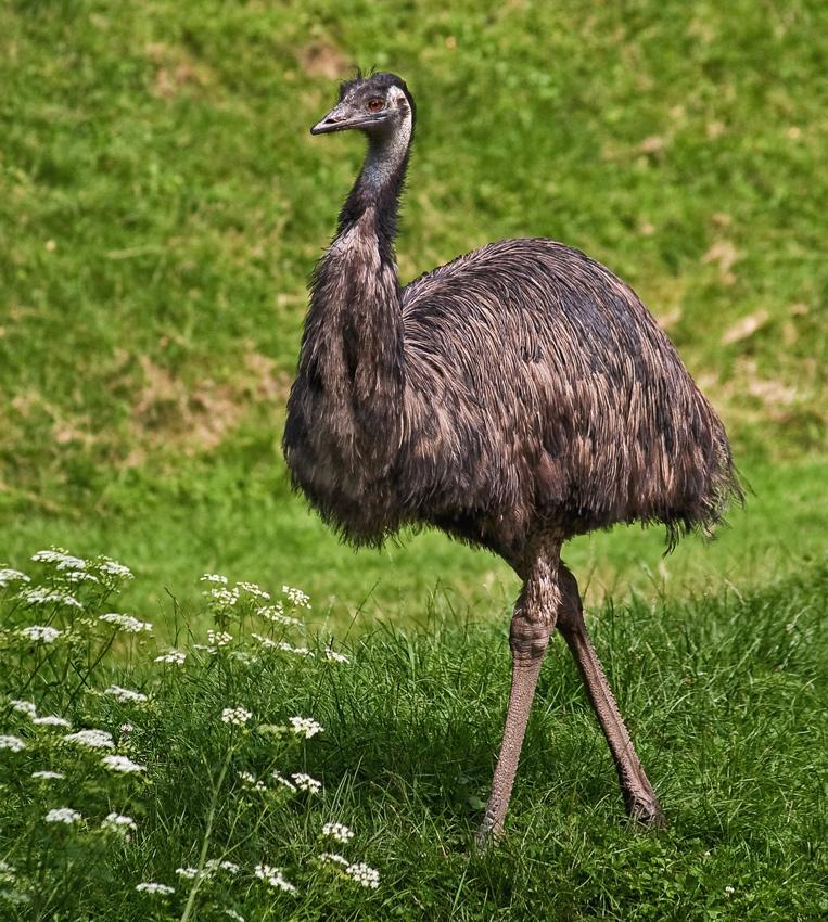 Australischer Emu!