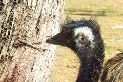 Australischer Laufvogel mit 3 Buchstaben?