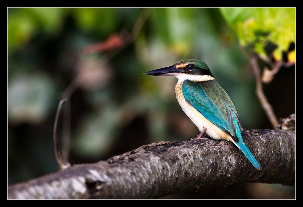 Australischer Sacred Kingfisher