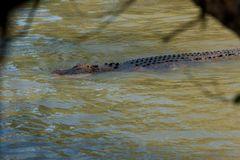 australischer Uferbegleiter