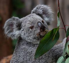 Australischer Ureinwohner