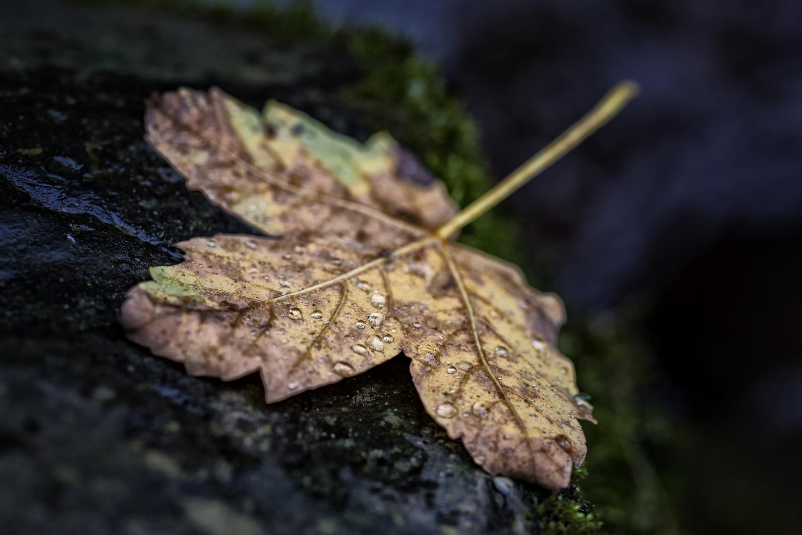 Autumn Leaf 1