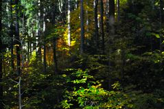 Autumn leaves - in the beech forest!