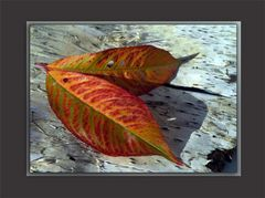 Autumn leaves of red and gold