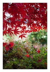 Autumn Red-2