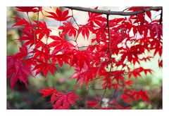 Autumn Red-4