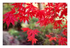 Autumn Red-5