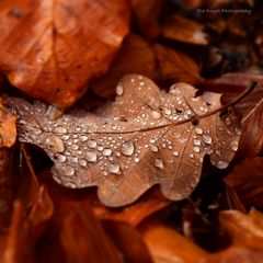 Autumn yellow Oak leaf with water drops