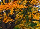 autumnal detail - the maple