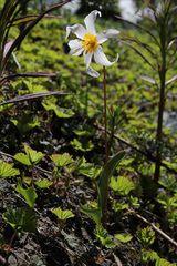 "Avalanche Lily - ""Lawinen-Lilie"" (Erythronium montanum)"