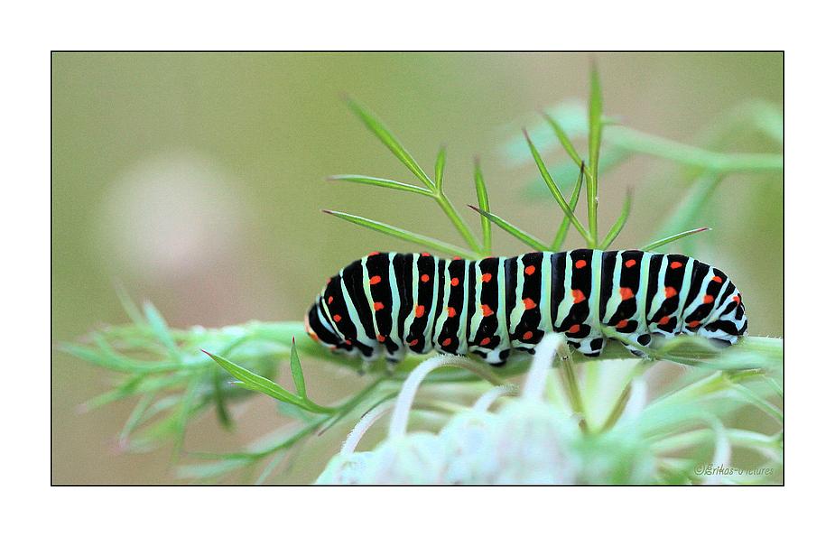 Avant dêtre un beau papillon