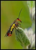 Avispa escorpion