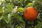 azahar y naranja después de la lluvia