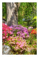 Azalea blooming in temple -4