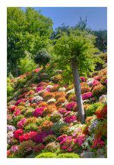 Azalea blooming in temple -5
