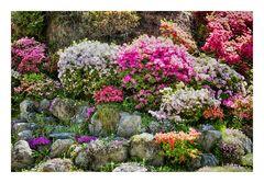 Azalea blooming in temple -6