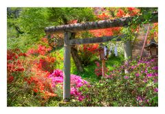 Azalea blooming in the approach of the shrine-1