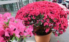 Azalee, rosa und rot groß