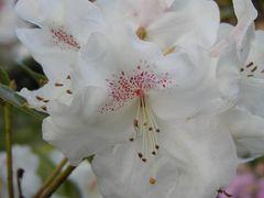 Azaleenblüte, große weiße