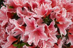 Azaleenblüten 'Mevrouw Gerard Kint'