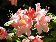 Azaleenblüten, rosa-lachs im Sonnenlicht