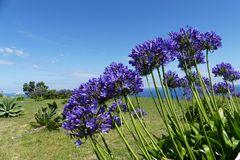 Azoren - Afrikanische Lilie (Schmucklilie)
