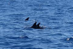 Azoren - Delphine und Grindwale beobachtet