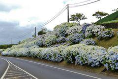 Azoren - Hortensien überall