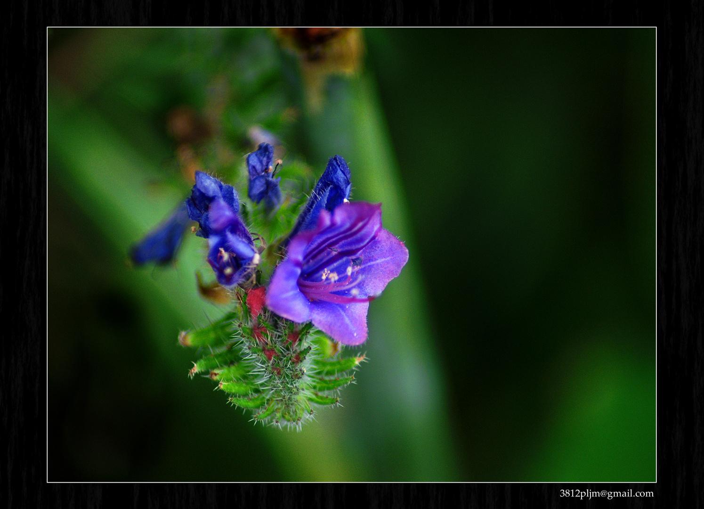 Azul en flor